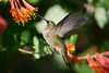 Jeuvenile Ruby throated hummingbird in honeysuckle trumpet vine 6