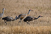 Sandhill Cranes getting ready to take off Oct 7 2018