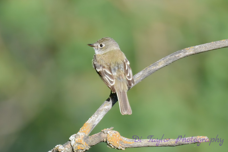 Yellow Bellied Flycatcher 3