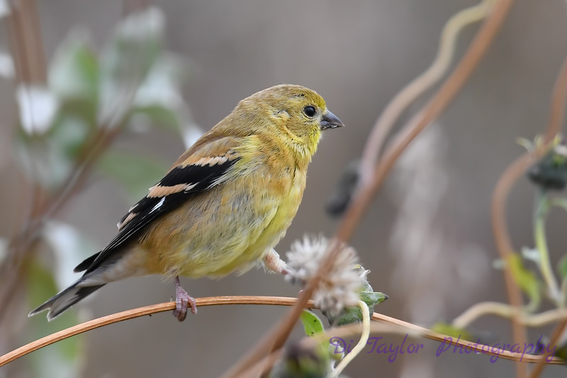 American Goldfinch juvenile 2  Sep 15 2018
