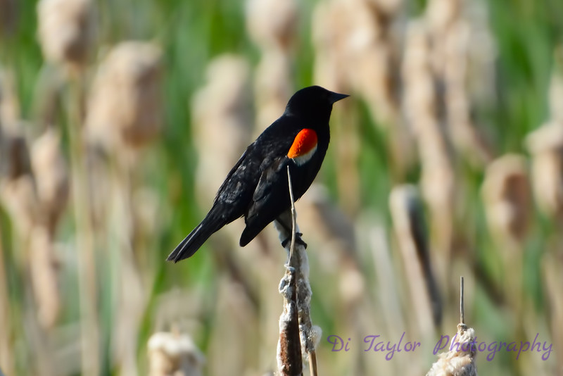 Red winged blackbird  on reed