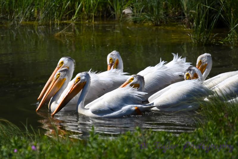 Pelicans Fishing at Elkwater June 27 2018