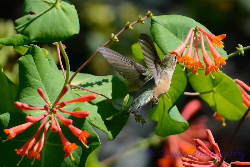 Female Ruby Throated Hummingbird 2015 3