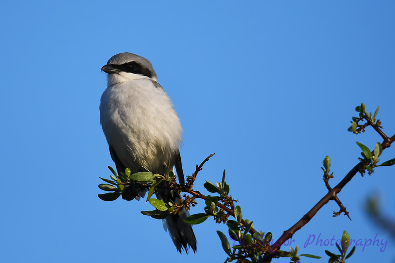 Loggerhead Shrike  2  26 May 2018
