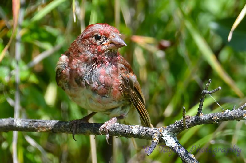 Purple Finch Male 6