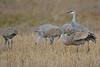 Sandhill Cranes  Oct 28 2017