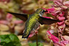 Young hummingbird at pink sage flowers 4