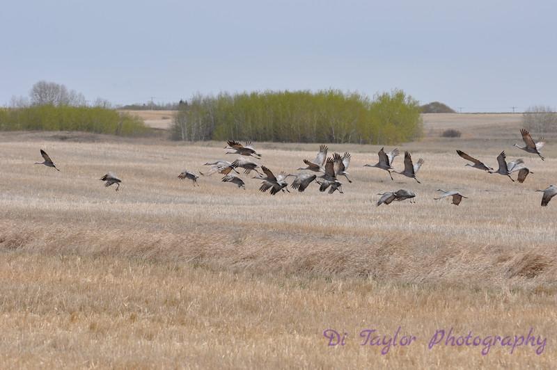 Sandhill cranes in spring Saskatchewan