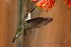 Female Ruby Throated Hummingbird with honeysuckle vine