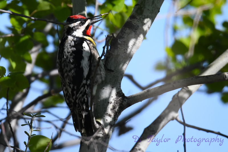 Yellow Bellied Sapsucker Male 2  May 20 2018