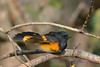 American Redstart male 4  Sep 10 2017