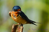 Barn Swallow on rusted pipe