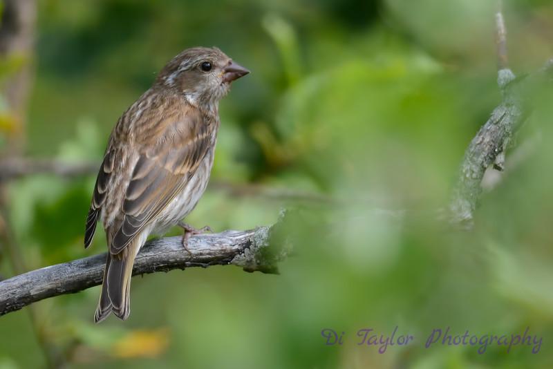Purple Finch Female 3
