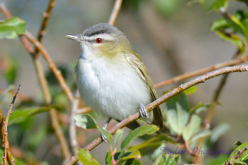 Red eyed Vireo 4  Aug 21 2017