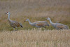 Sandhill Crane adult and 2 juveniles  Oct 28 2017