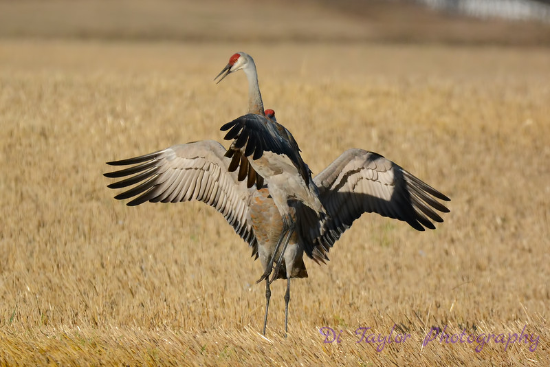 Sandhill Cranes establishing dominance 3