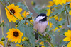 Chickadee in Daisies 2  Aug 17 2017