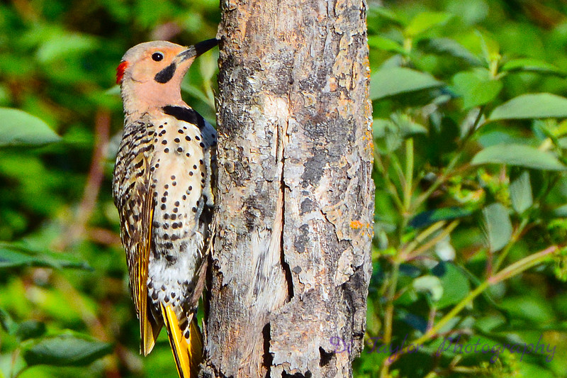 Northern Flicker 4