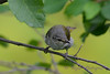 Tennessee Warbler 3  23 Jul 2017