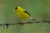 American Goldfinch 8 July 2017