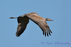 Sandhill Crane juvenile flying Sep 25 2017