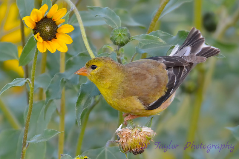 American Goldfinch female 14 Aug 2017