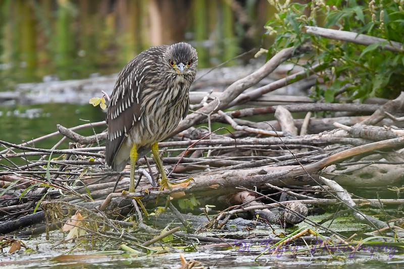 Black Crowned Night Heron juvenile 7 Aug 25 2018