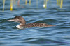 Common Loon juvenile Aug 26 2017