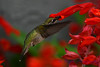 Young Male Hummingbird in Red Sage flowers 6