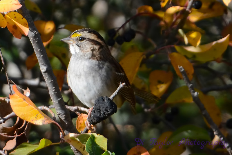 White-Throated Sparrow 6