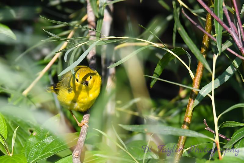 Yellow Warbler 3 Aug 7 2018
