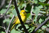 Yellow Warbler Male  2 July 2 2018