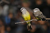 Western Kingbird female and juvenile Aug 5 2020