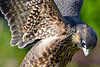 Peregrine Falcon feather patterns
