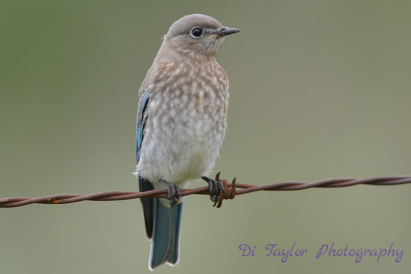 Mountain Bluebird juvenile 22 Jul 2017