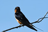 Barn Swallow 4  23 Jul 2019