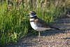Killdeer female 14 Jul 2017