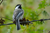 Chickadee 3  14  Aug 2017
