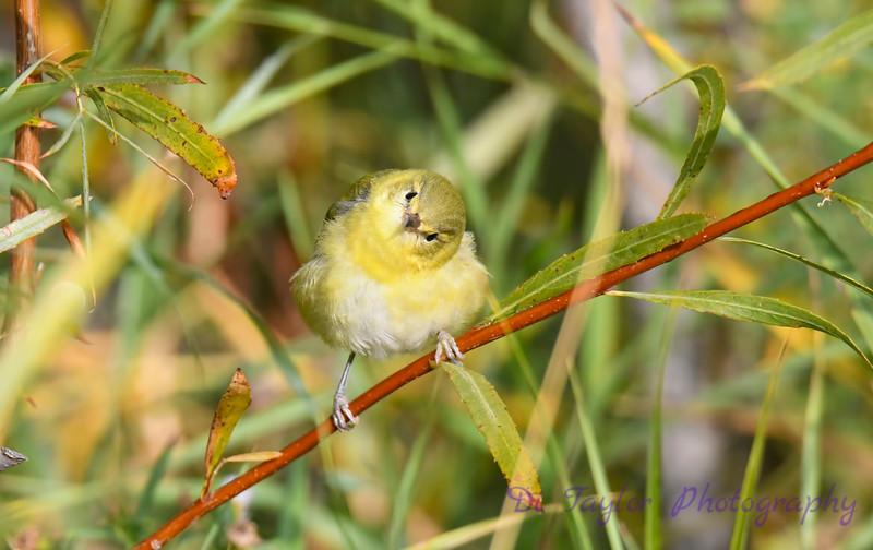 Tennessee Warbler 6 Sep 13 2020