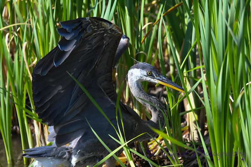 Great Blue Heron 7 Aug 2 2020