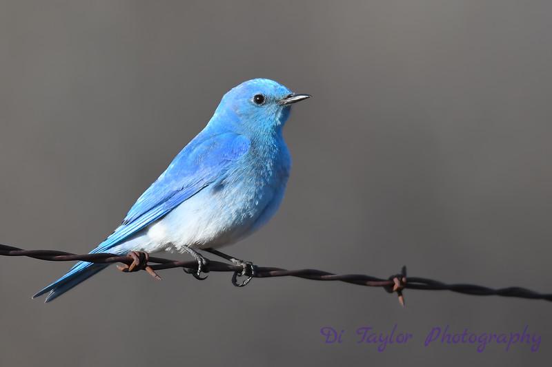 Mountain Bluebird male 9 May 3 2018