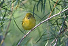 Yellow Warbler Aug 3 2020