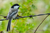 Chickadee 2  14  Aug 2017