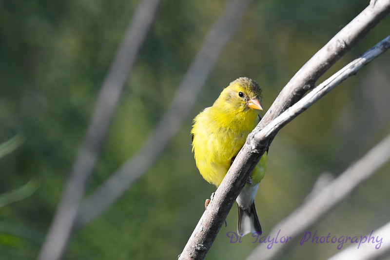 American Goldfinch female Aug 2 2020