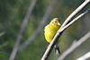 American Goldfinch female Aug 2 2020