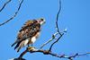 Swainson Hawk - original size-2