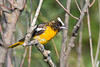 Baltimore Oriole juvenile 4 Aug 2019
