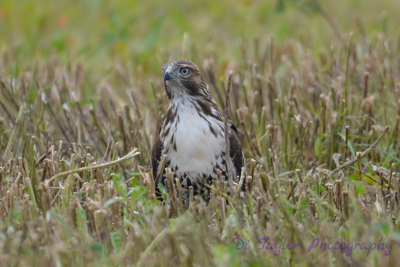 Red Tailed Hawk 2 Aug 31 2017