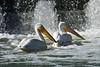 American White Pelicans 23 Jul 2019