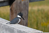 Belted Kingfisher female Aug 19 2018
